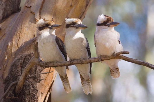 three-kookaburras-australian-animals-to-show-my-fans-30545259-1200-800