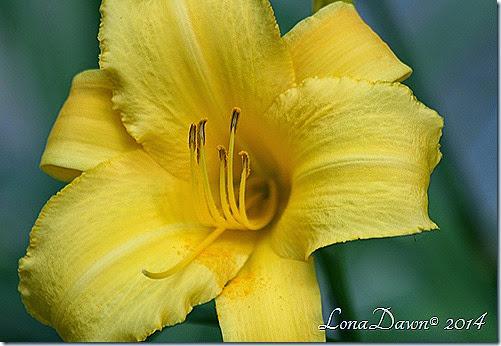 LF Yellow2