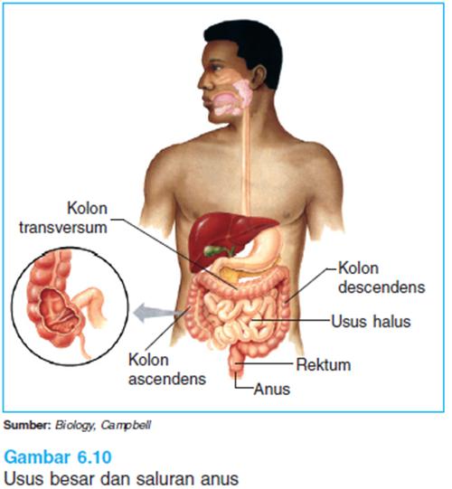 gambar usus besar
