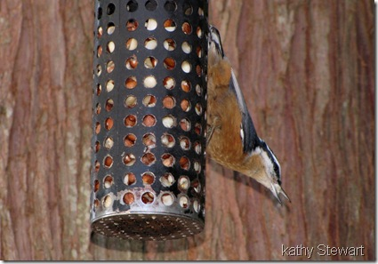 Red-breasted nuthatch at Peanut feeder