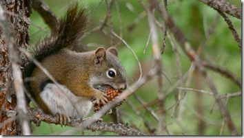 pine_squirrel1
