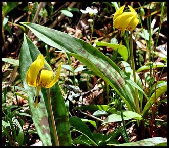 04 - Spring Wildflowers - Turks Cap Lilies