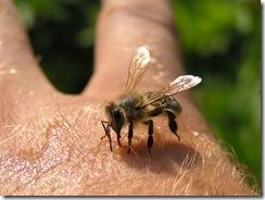 včely na květu a matečniky 113
