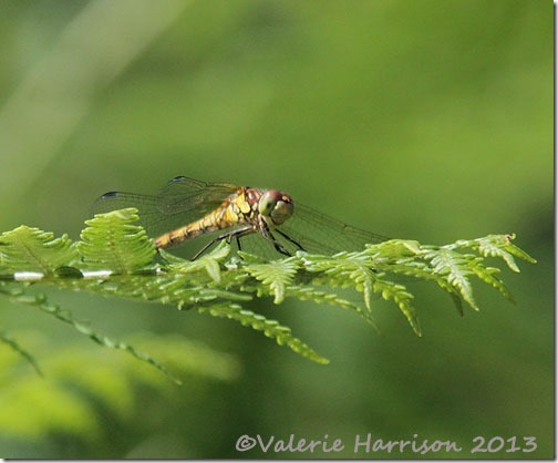 8-common-darter