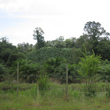 写真3 小農のアブラヤシ栽培 / Small farmer's oil palm farm land.