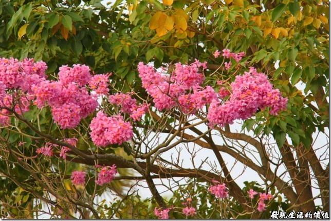 嘉義北迴歸線-粉紅色風鈴木