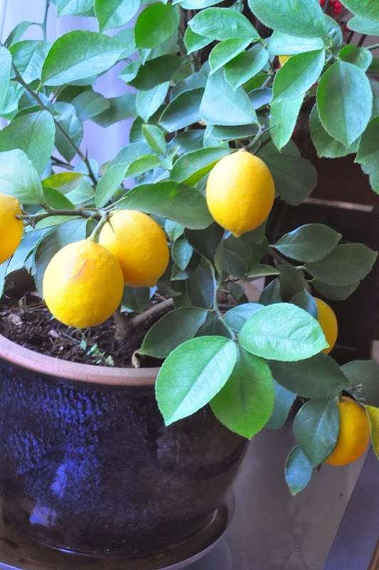 land_of_lemon