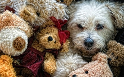 dog-amongst-surrounded-by-teddy-bears-800x500