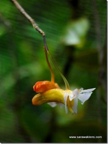 Dendrobium_phillipsii_sarawaklens2