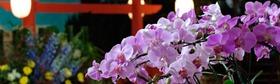 festa flores e morangos atibaia