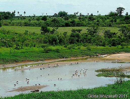Glória Ishizaka - Guaiçara - margem do rio campestre - passaros 1