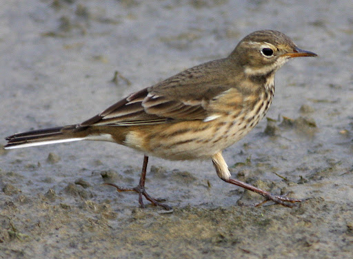 9-19-09, Minor Clark Fish Hatchery, American Pipit