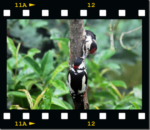 Male woodpecker feeding young 06 film png