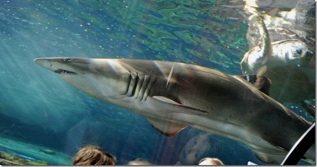 tubarão cinza