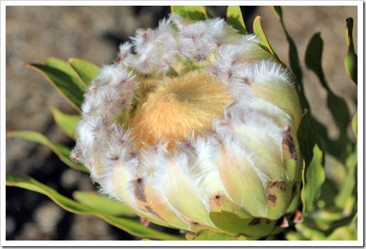 121027_UCSCArboretum_Protea-neriifolia-Alba_02