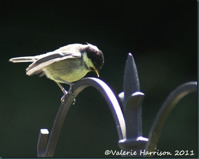 22 baby-greattit