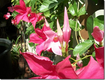 Mandevilla in August 002