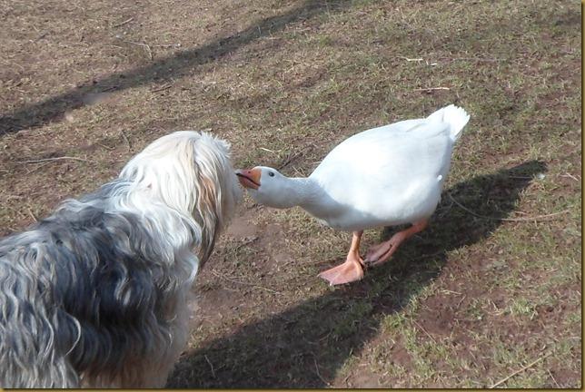 SAM_4867 Hello Goose