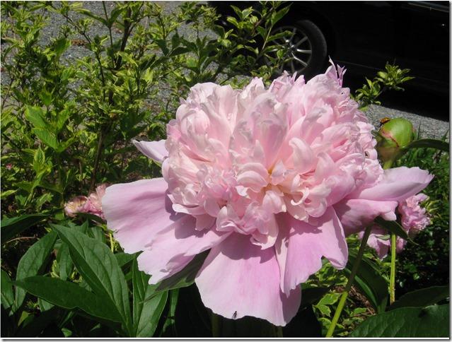 Pink Peony 1