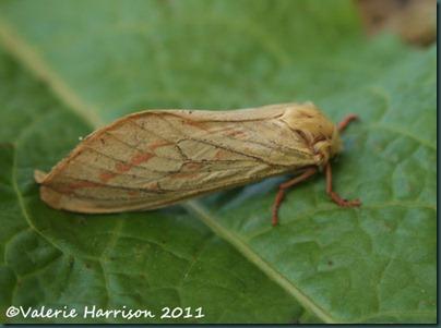 Ghost-moth (2)