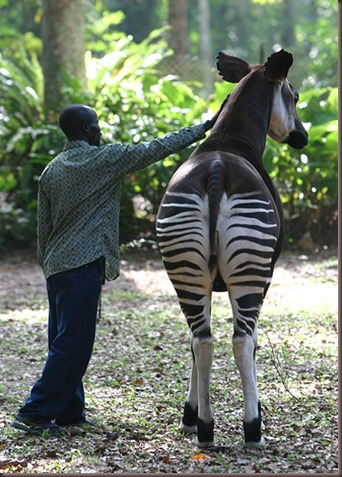 Amazing Animal Pictures Okapi (2)