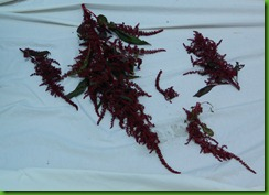 amaranth drying