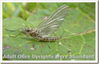 Olive Upright 2