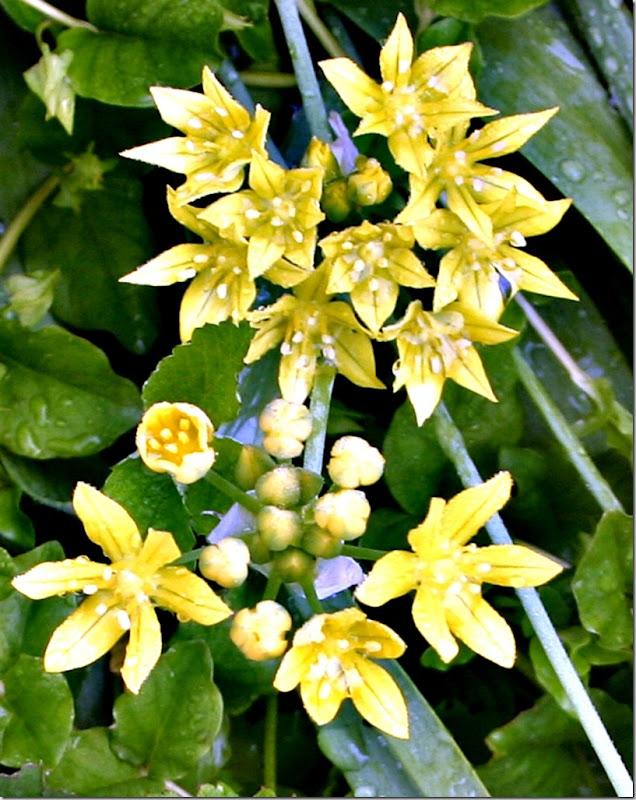 Allium moly nær