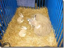 baby_lambs_both