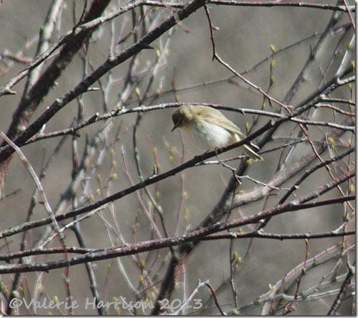 2-willow-warbler
