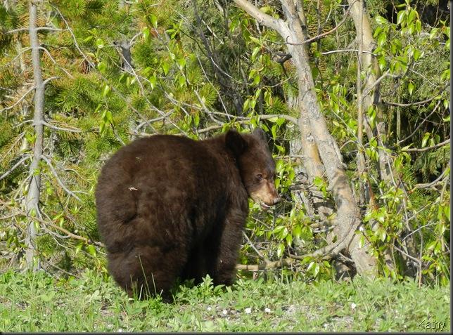 Brown - Black Bear Cub
