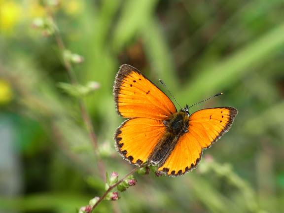 Lycaena (Heodes) virgaureae (L., 1758), mâle. Pentes au NE de Cheget (Terskol), 2000 m (Kabardino-Balkarie), 11 août 2014. Photo : J. Michel