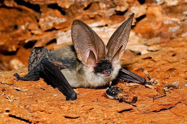 10- Morcego-orelhudo-castanho