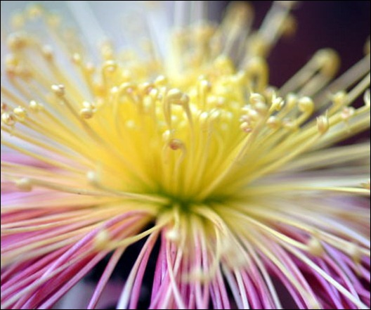 chrysanthemum2