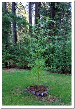 121121_Phyllostachys-bambusoides_001