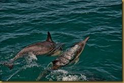 - _Long-beacked Common Dolphin DSC5214seacher day 1 May 29, 2010 NIKON D300