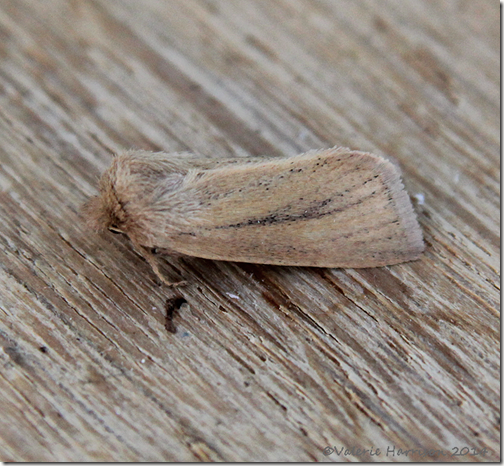 small-wainscot