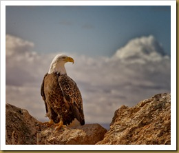 - Bald Eagle on Rock_ROT9117-Edit-Edit February 19, 2012 NIKON D3S-2