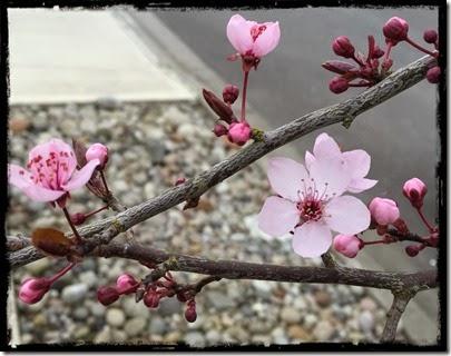 pink tree flowers 2-19-15