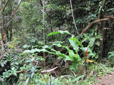 Grenada_Grand_Etang_Unterholz