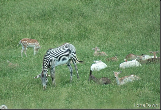 Safari_Zebra