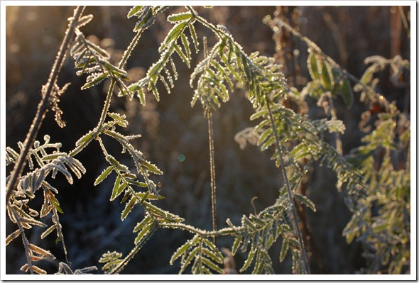 Frosty Morning (4)