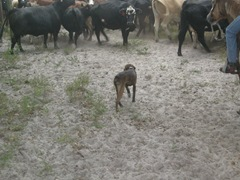 feed cows 039