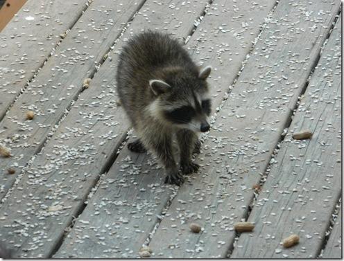 raccoons 2011 006