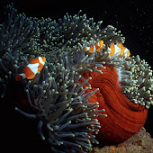 Clownfish-005_p10R.jpg