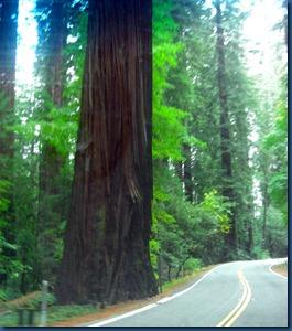 Redwoods (15)