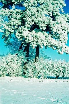 Snowy-Trees---XPRO