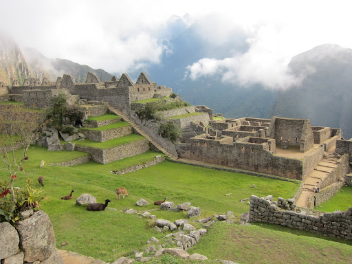 Llamas grazing around the plaza of Machu Picchu