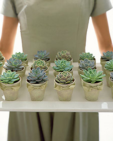 Succulents are common in Central America. Small succulents would make memorable party favors. (marthastewart.com)