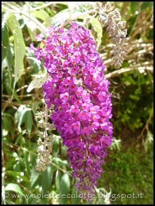 Buddleja davidii (Albero delle farfalle) (2)
